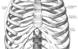 Грудная клетка человека картинки